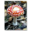 Fly amanita by brothercactus