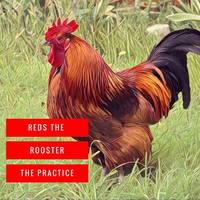 Reds the Rooster by the practice